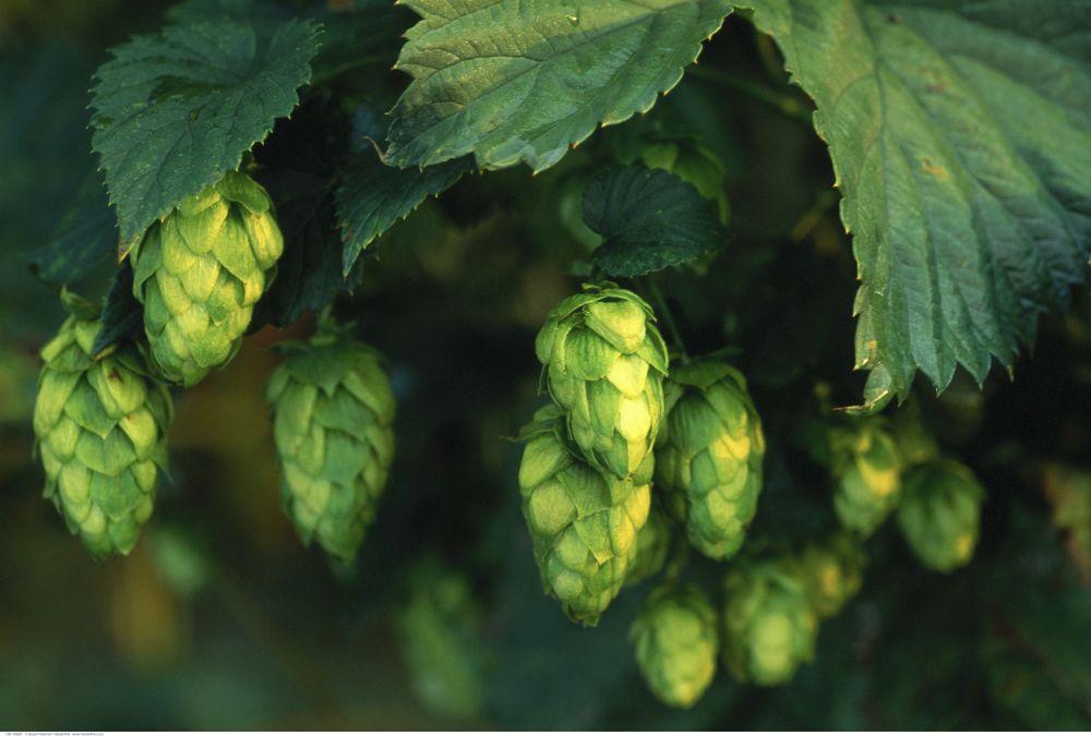 Pivo - chmeľ